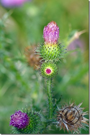cr-Thistle-bud-4281-