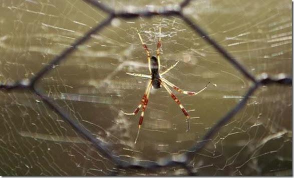 spiders-invading-australia-9