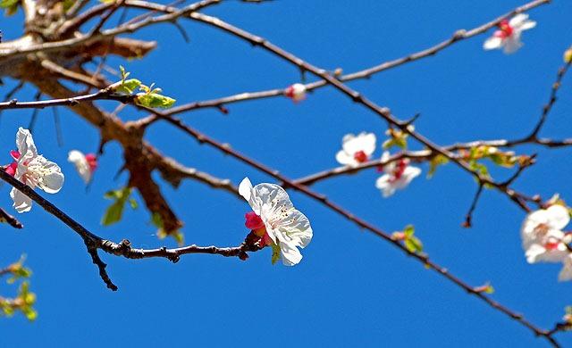 Aprikosenblüte_05