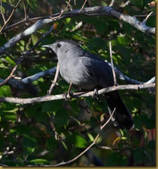 Gray Catbird D7K_6285 October 16, 2011 NIKON D7000