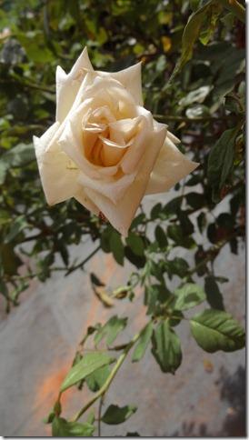 flor-flores-rosas-imagens290