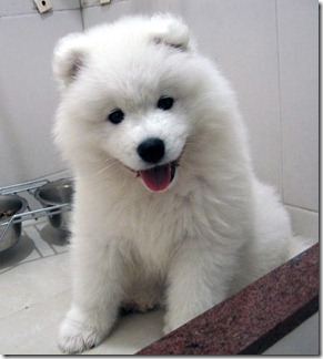 Samoyed-puppy-picture