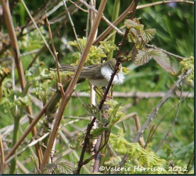 27-willow-warbler