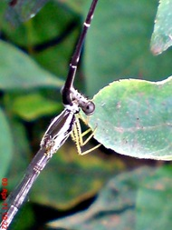 damselfly mating_capung jarum kawin 9