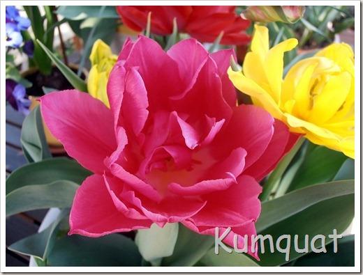 tulipan 6