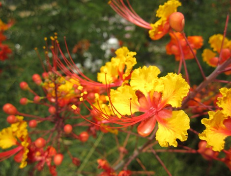 pride of barbados (1)