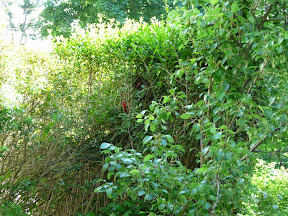 Zoomed out a bit to show perspective in shrubs - notice the red balloon and red string to see where nest is. We discovered where the nest was located when we saw one of the birds take a twig and fly to this shrub.