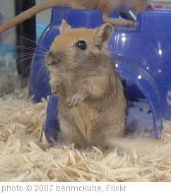 'Gerbil - Nutmeg' photo (c) 2007, benmckune - license: http://creativecommons.org/licenses/by-sa/2.0/