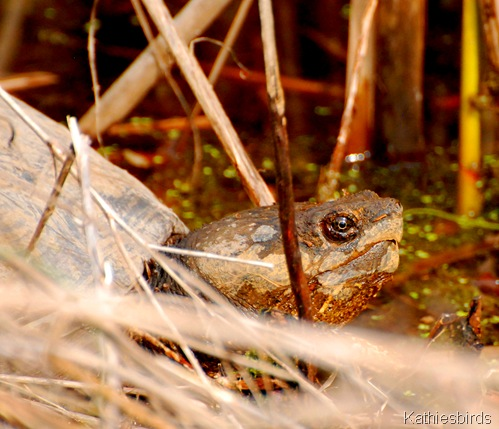 4. turtle-kab