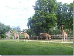 2008.05.26-013 girafes