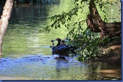 Ducks 2011-08-30 014