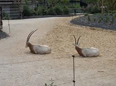 2014.04.21-011 oryx algazelle