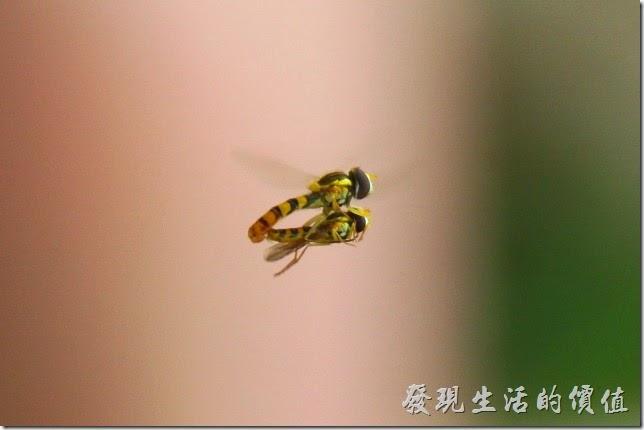 日本北九州-交尾。剛好在店門外拍到這正在交尾的昆蟲,不曉得是果蠅還是蜻蜓支類的動物,有知道的朋友報給我知啊!