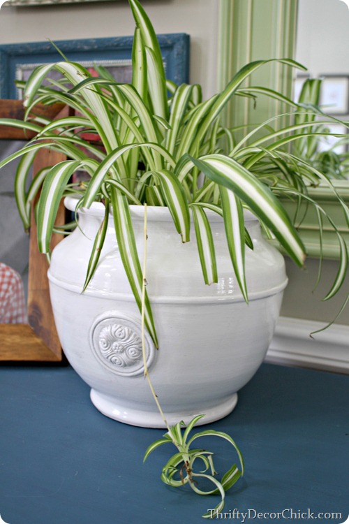 spider plant, safe for cats