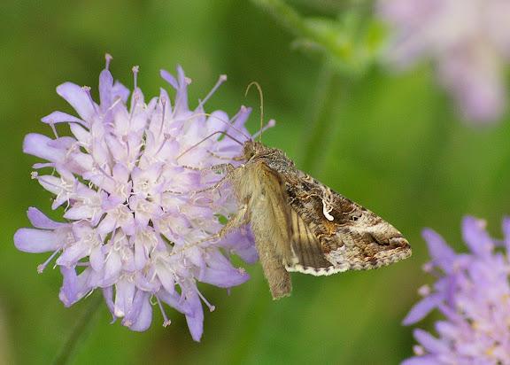 Noctuidae : Plusiinae : Autographa gamma (LINNAEUS, 1758). Hautes-Lisières (Rouvres, 28), 26 juillet 2010. Photo : J.-M. Gayman