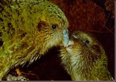 Amazing Pictures of Animals photo Nature exotic funny incredibel Zoo Kakapo birds Aves. Alex (10)