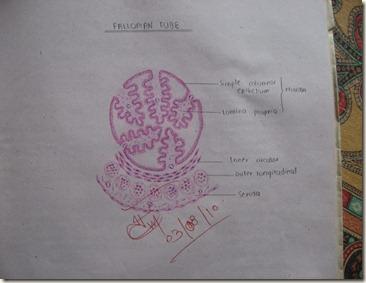fallopian tube diagram histology slides database