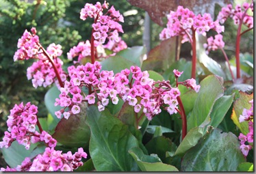 early summer bergenia 002