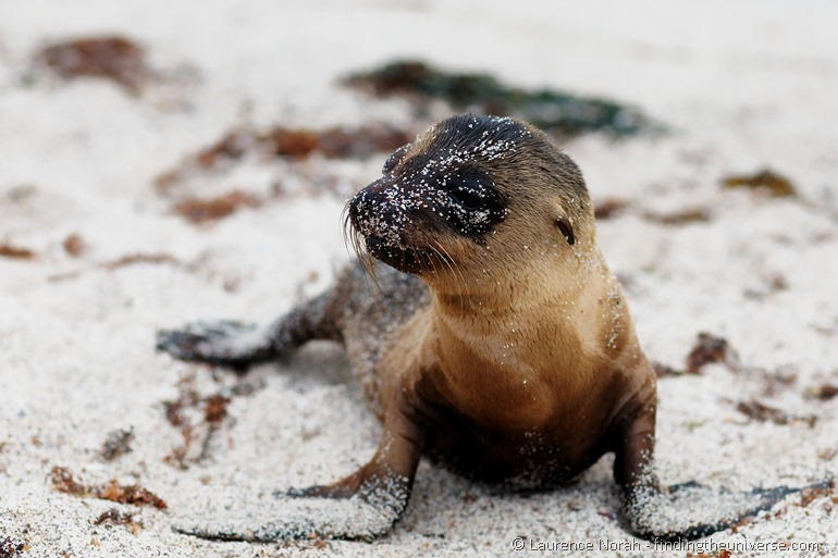 baby sea lion Galapagos