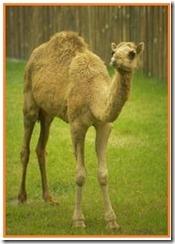 camel[1]