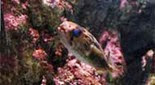 Biodiversité poisson porc-épic