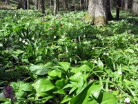 Bujna gozdna podrast pod Velikim Javornikom