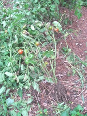 2011 Hurricane Irene tomato plant ripped out of ground1