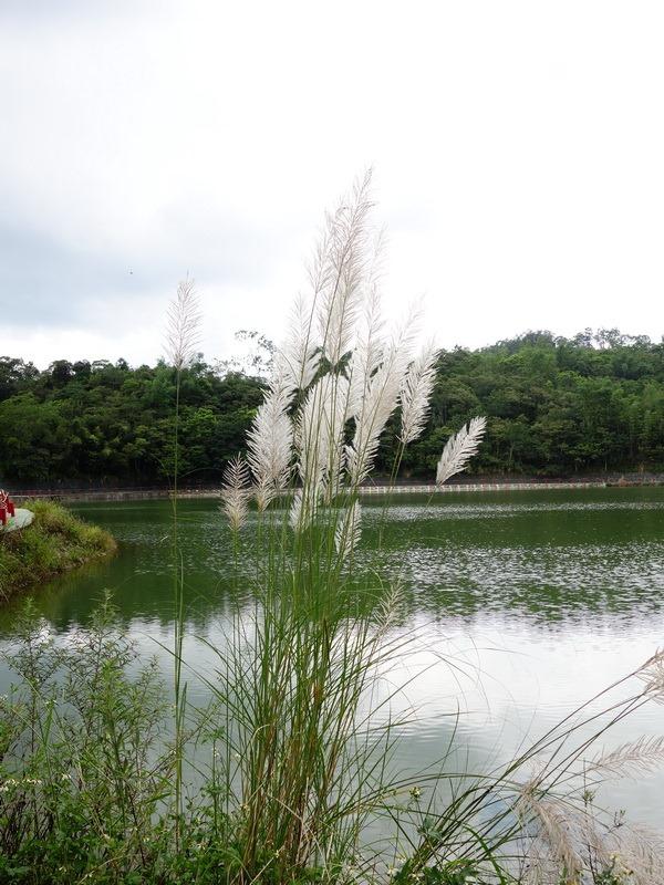 2013_0825 頭社活盆地賞金針花,順遊頭社水庫_087