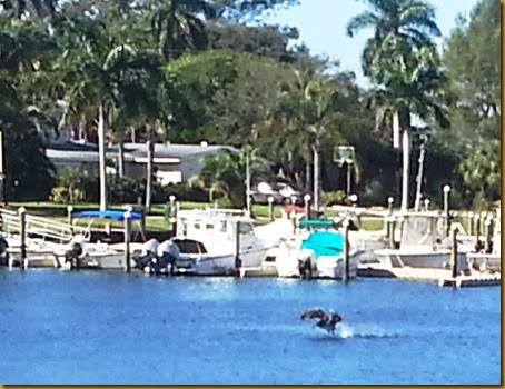 pelican at palma sola park