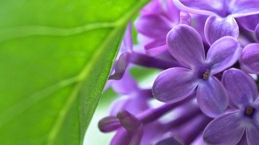lilac18