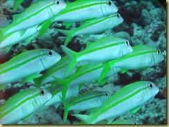 SG Fish-001