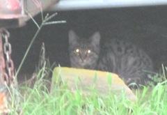 1 new kitties 10.2011 grey tiger under camper2
