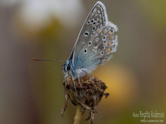 butterfly_20110729_blue5