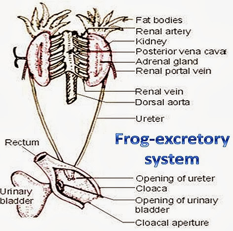 EXCRETORY SYSTEM OF FROG AND EXCRETORY SYSTEM OF FISH-COMPARITIVE ...