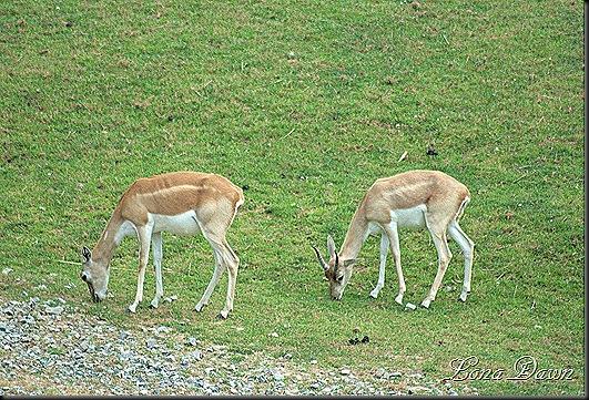 Safari_Deers