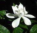 Gardenia_Flower.jpg