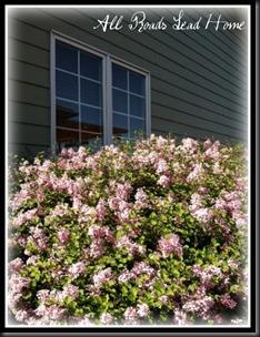 lilacs bloomed ARLH