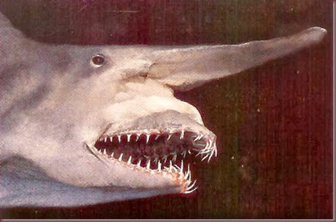 Amazing Animal Pictures Goblin Shark (4)