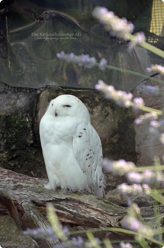 Wremen 29.07.14 Zoo am Meer Bremerhaven 34 Schneeeule