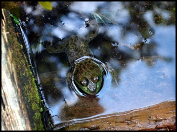 12c2 - Jordan Pond Trail - frog in clear water