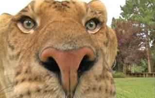 Amazing Pictures of Animals, photo, Nature, exotic, funny, incredibel, Zoo, Liger, Hybrid, Alex (6)