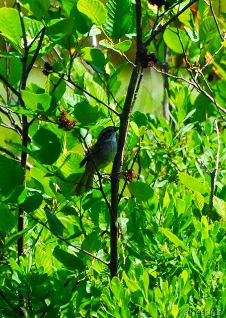 12. swamp sparrow-kab