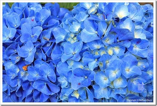 130715_KulaBotanicalGarden_Hydrangea-macrophylla_003