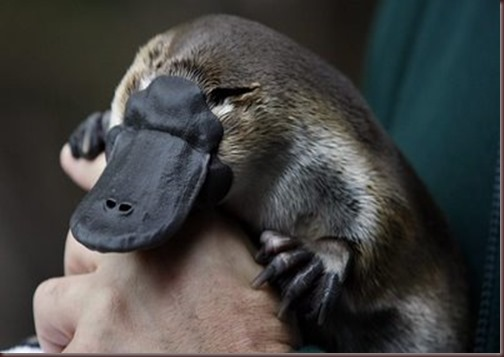 Amazing Pictures of Animals Platypus OrnithorhynchusAlex (3)