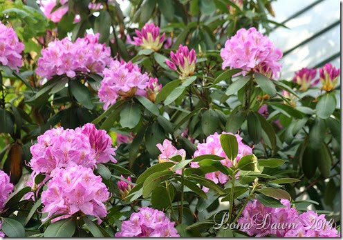 Rhododendron Lilac