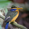 Cestnut-collared kingfisher-04.jpg