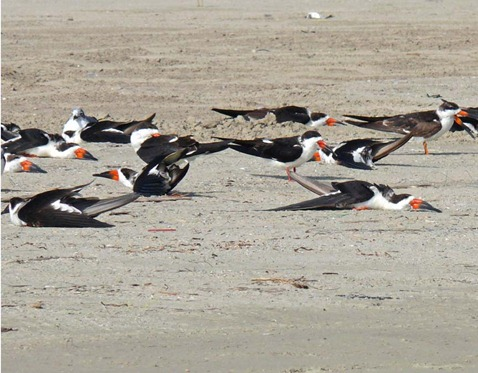 Sleeping Black Skimmers