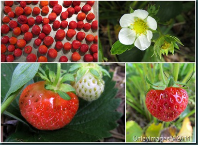 strawberry collage0523