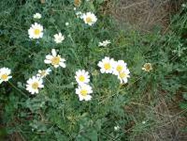 Pyrethrum1