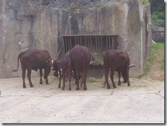 2008.05.26-006 watusis